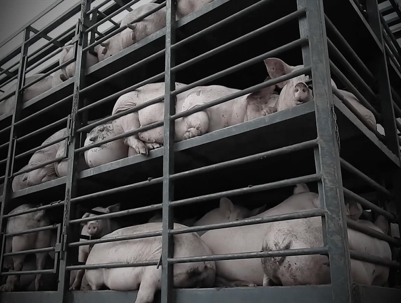 Campanha global da Mercy For Animals é inspirada nos protocolos da OMS